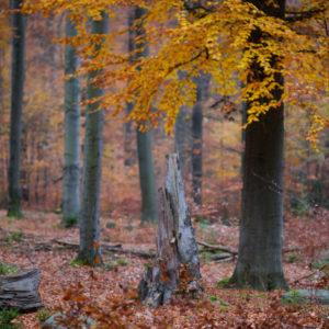 Zamračený podzim v bučinách